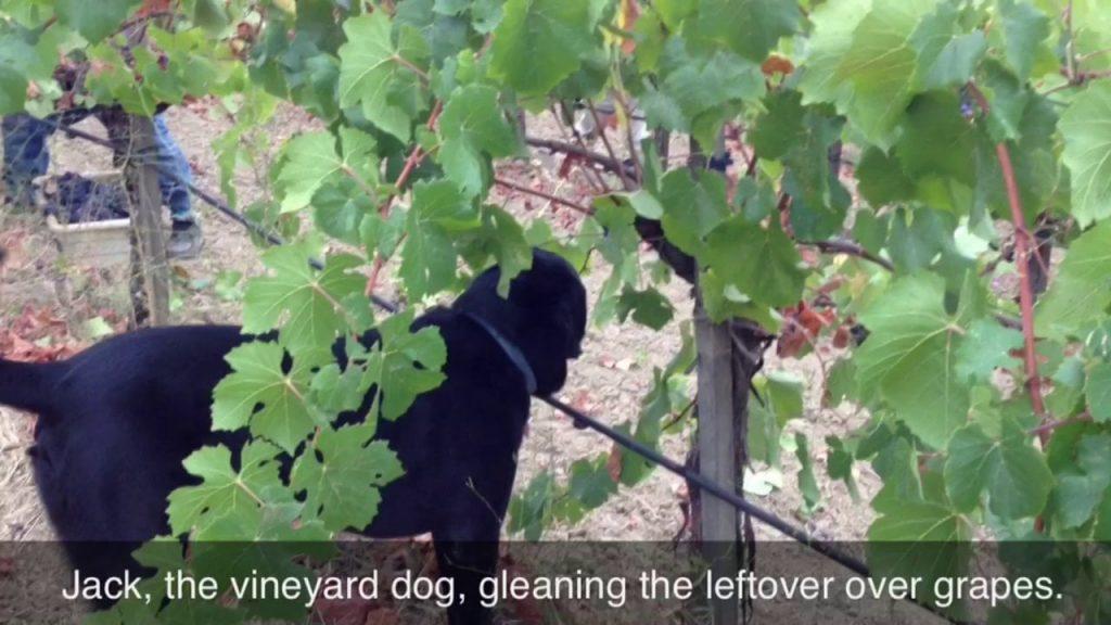 Pinot Noir Harvest 2013